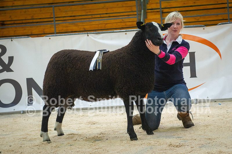 Zwartbles Overall Champion ram lamb lot 76 sold for 4000 gns