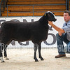 Zwartble Ram Lamb lot 67 sold for 3800 gns