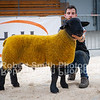 Suffolk ram lamb lot 377 sold for 1300 gns