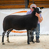 Zwartbles Megarrel lot 173 sold for 2100 gns