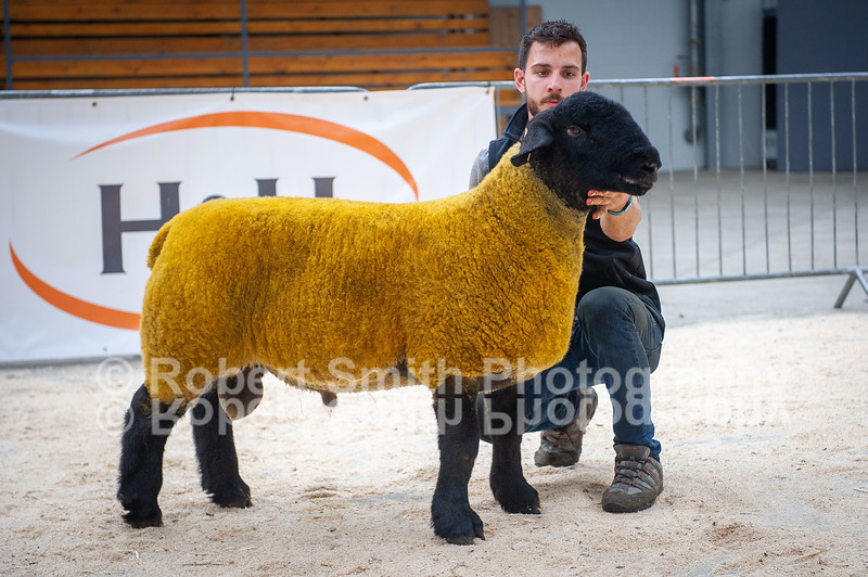 Suffolk ram lamb lot 377 sold for 1300 gns (2)