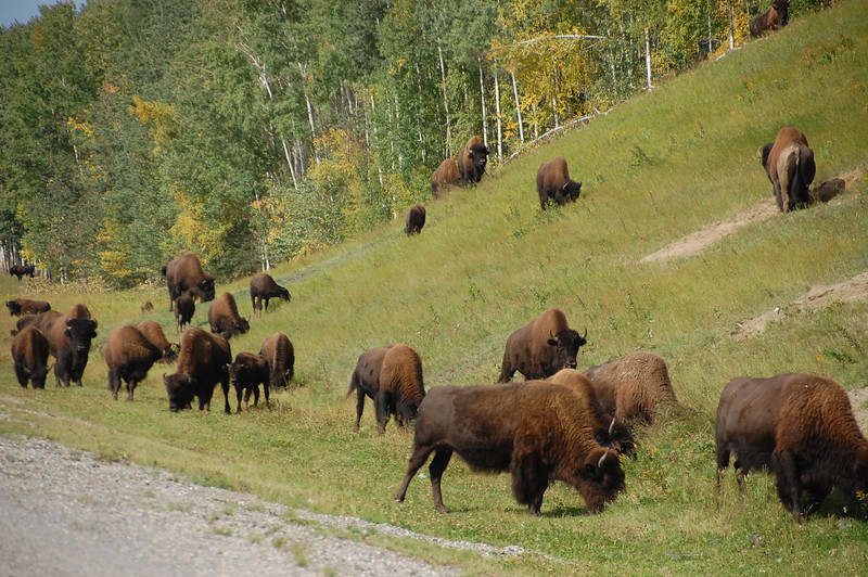 Day 4 <br /> <br /> Buffalo along the Alaska Highway in BC.