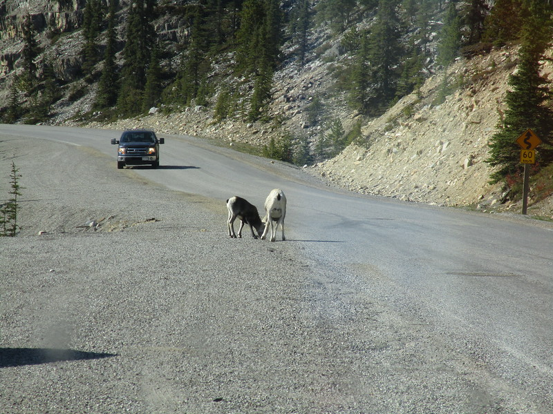 Day 4<br /> <br /> The Alaska Highway cleaves its way through the Canadian Rockies, and all manner of mountain goats and sheep roam around.  It was right in this stretch in 2017 that I hit two sheep in the truck.