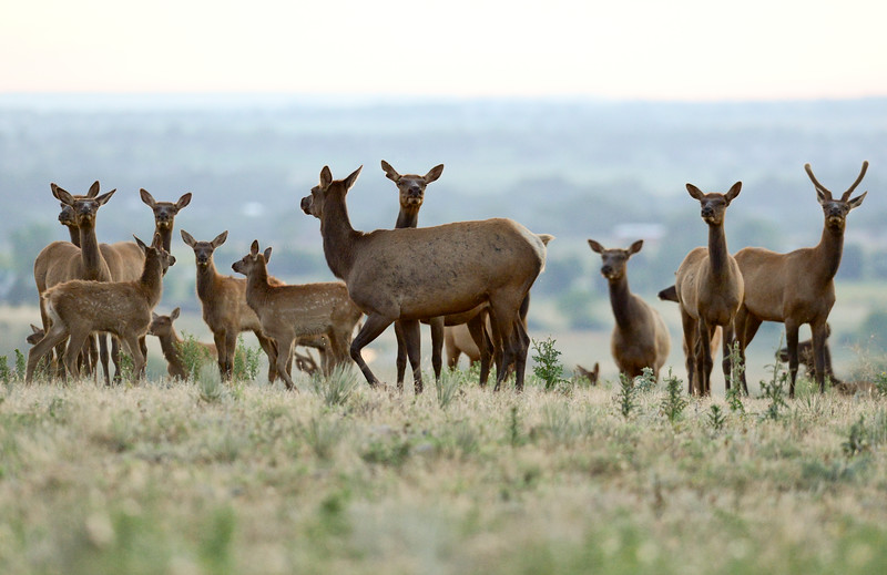 Colorado Parks and Wildlife Count Resident Elk Herds in Boulder County