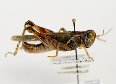 A Melanoplus devastator grasshopper specimen kept at Chico State is seen Wednesday in Chico. (Matt Bates -- Enterprise-Record)