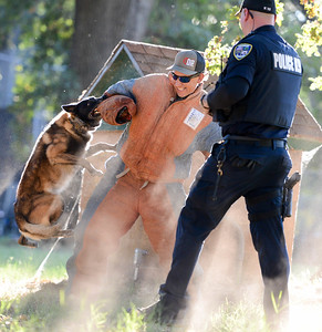 K-9 cop Aron and Officer Ed Marshall perform a demonstration while Aron's partner Officer Dave Martin looks on during National Night Out at Capre Acres on Tuesday in Chico. (Matt Bates -- Enterprise-Record)