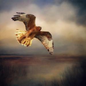 """Marsh Harrier, Hurst Creek, Northern Tasmania."" 1:1 format."
