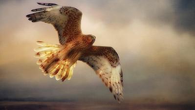 """Marsh Harrier,  Hurst Creek, Northern Tasmania."" 16:9 format."