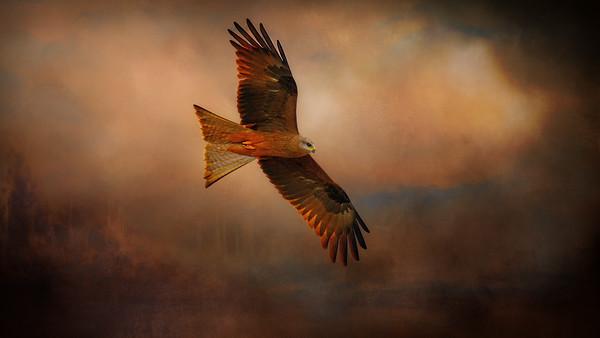 """Red Kite, Woodstock, North Queensland."" 16:9"