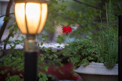 begonia in cortyard