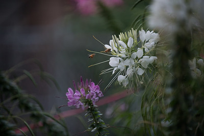 Cleome -  dinner for two