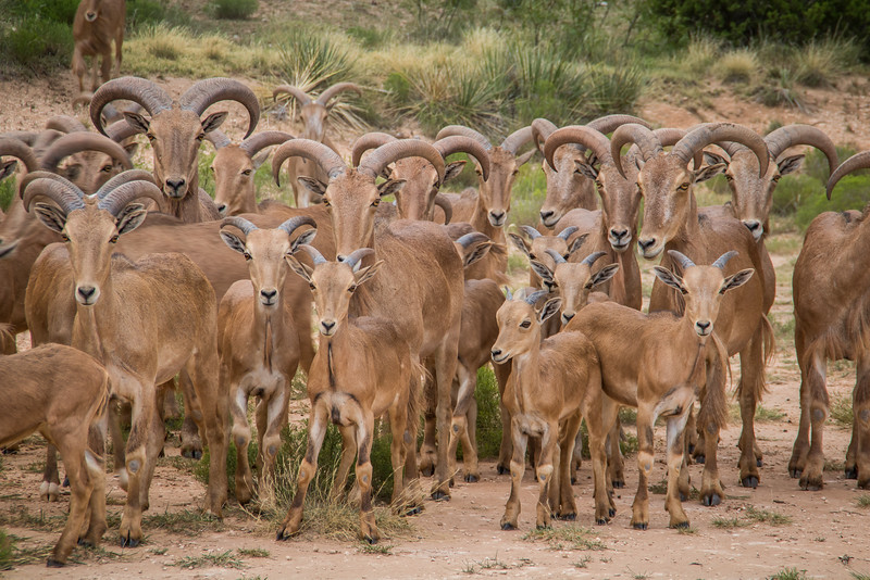 Aoudad Sheep Family Portrait
