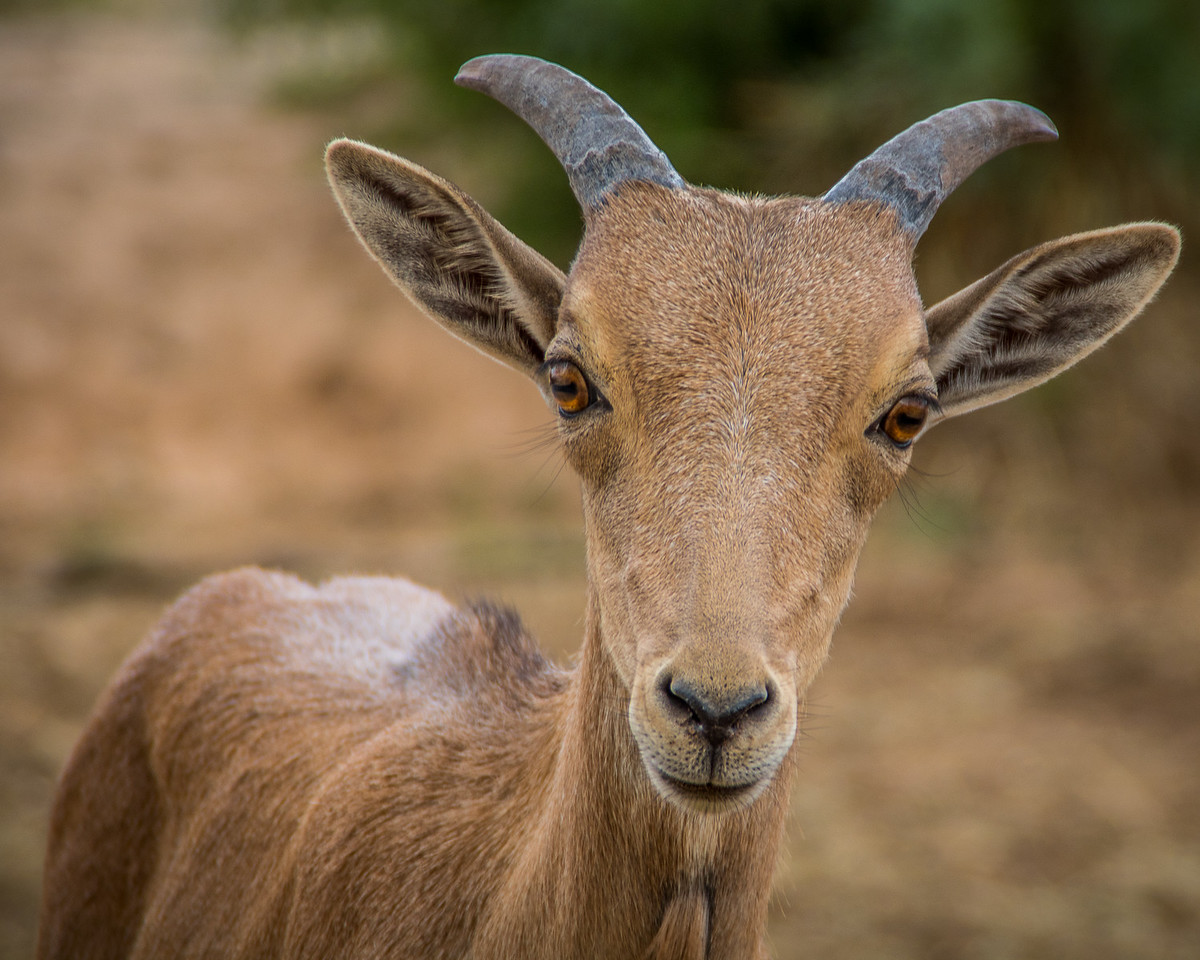 Curious Young Aoudad
