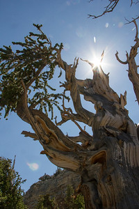 Bristlecone Tree Star