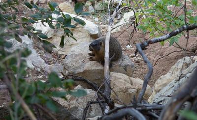 Marmot Squirrel