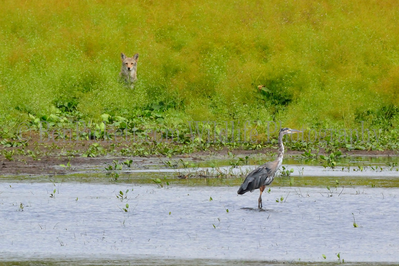 Great Blue Heron and Coyote