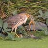 Green Heron Juvenile