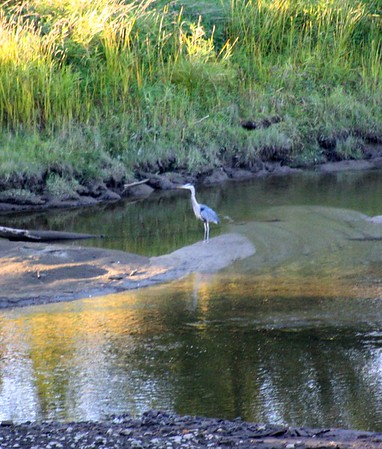 10.09.18 Heron in Kennebec River