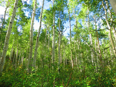 Passing through a large aspen grove - still with all its leaves.