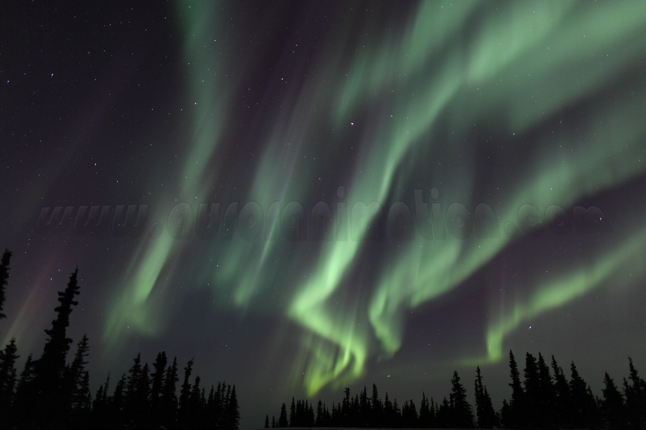 Multiple auroral curtains and Spruce Trees at 02:21 AM on March 17, 2013 - Arctic Circle, Alaska<br /> <br /> Canon 5D MKII with EF 24mm f/1.4L II