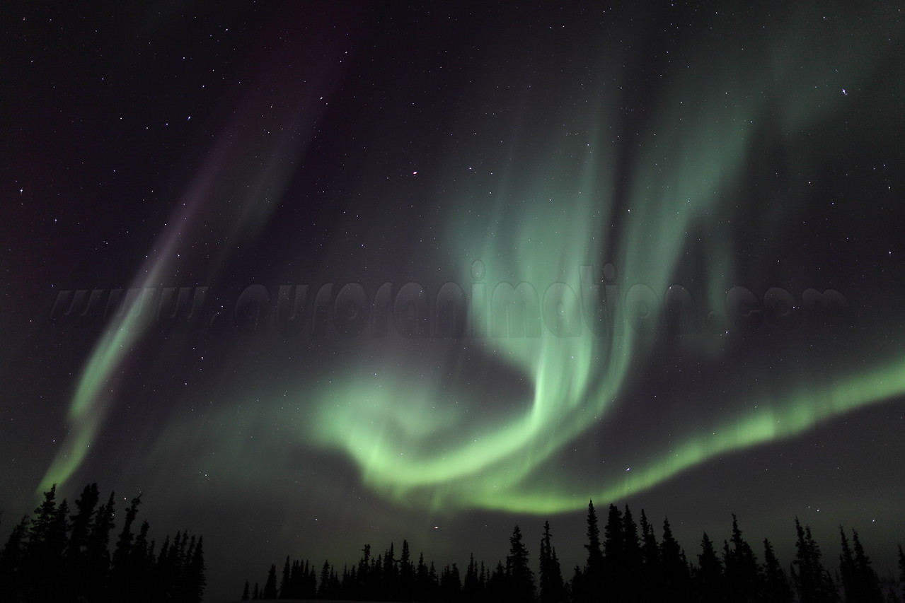 Colorful auroral curtains and Spruce Trees at 02:24 AM on March 17, 2013 - Arctic Circle, Alaska<br /> <br /> Canon 5D MKII with EF 24mm f/1.4L II
