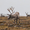 Reindeer on the Island of Mageroya, Norway. Sept. 25, 2019