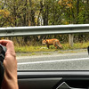 Ben Cooper shoots Red Fox off hwy E6 close to Skibotn, Norway. Sept. 28, 2019. iphone 7+