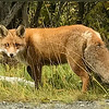Red Fox off hwy E6 close to Skibotn, Norway. Sept. 28, 2019. iphone 7+