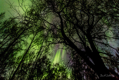 Aurora through the Trees