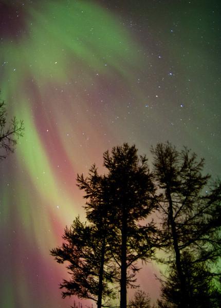 Aurora Trees