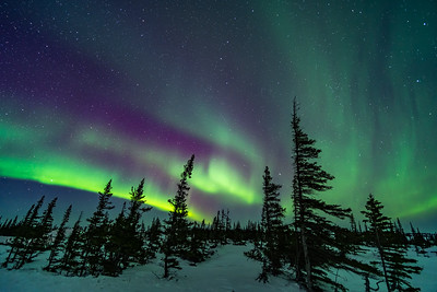Aurora over Wind-Shaped Trees of the Boreal Forest