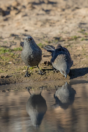 Apostlebird (Struthidea cinerea) - Cunnumulla, Queensland
