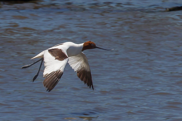 Red-necked Avocet (Recurvirostra novaehollandiae) - Werribee Treatment Plant, Victoria