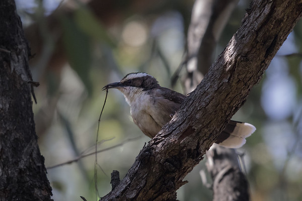 White-browed Babbler (Pomatostomus superciliosus) - Chiltern, Victoria