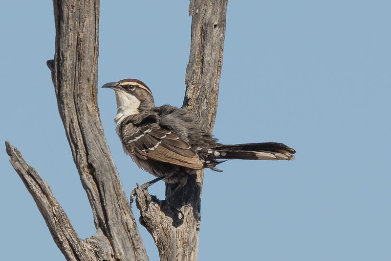 Chestnut-crowned Babbler (Pomatostomus ruficeps) - Cunnamulla, Queensland