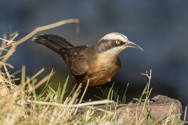 Grey-crowned Babbler (Pomatostomus temporalis) - Clem Walton Reserve (Cloncurry), Queensland