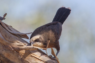 Grey-crowned Babbler (Pomatostomus temporalis) - Alice Springs, Northern Territory