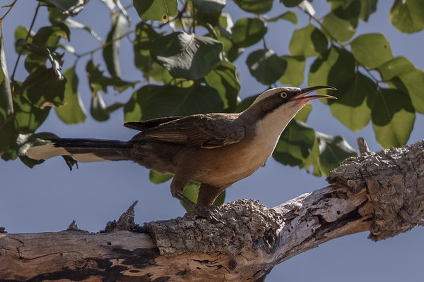 Grey-crowned Babbler (Pomatostomus temporalis) - Laura, Queensland