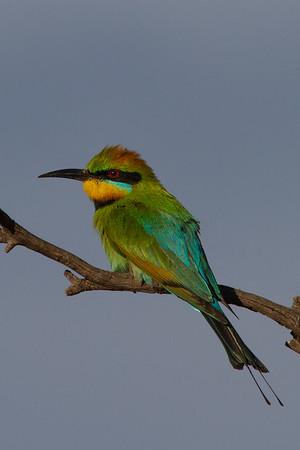 Rainbow Bee-eater (Merops ornatus) Gluepot, South Australia
