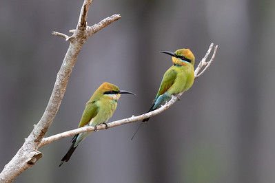 Rainbow Bee-eater (Merops ornatus) - Moreton Telegraph Station (Cape York), Queensland