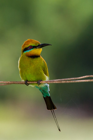 Rainbow Bee-eater (Merops ornatus) - East Point Nature Reserve (Darwin), Northern Territory