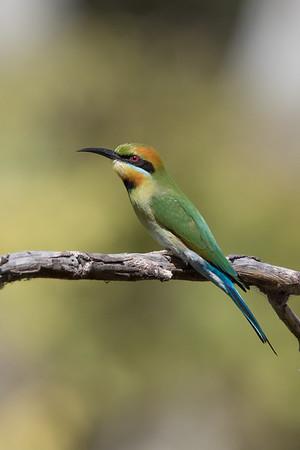 Rainbow Bee-eater (Merops ornatus) - Clem Walton Reserve (Cloncurry), Queensland