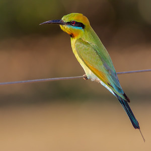 Rainbow Bee-eater (Merops ornatus) - Dripstone, Northern Territory