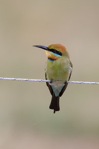 Rainbow Bee-eater (Merops ornatus) - Birds on Barron (Mareeba), Queensland