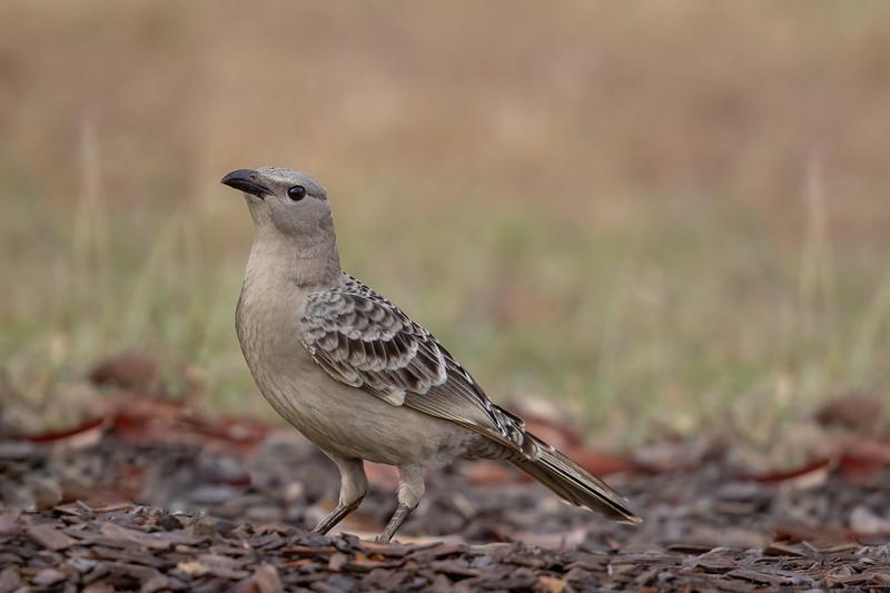 Great Bowerbird (Chlamydera nuchalis) - Birds on Barron (Mareeba), Queensland