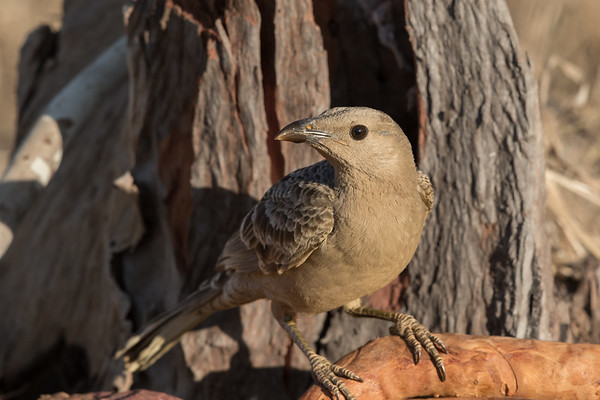 Great Bowerbird (Chlamydera nuchalis) - Goanna Creek Rest Area, Northern Territory