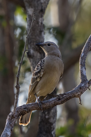 Great Bowerbird (Chlamydera nuchalis) - Laura, Queensland