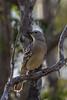 Great Bowerbird (Chlamydera nuchalis) - Laura, Queensland