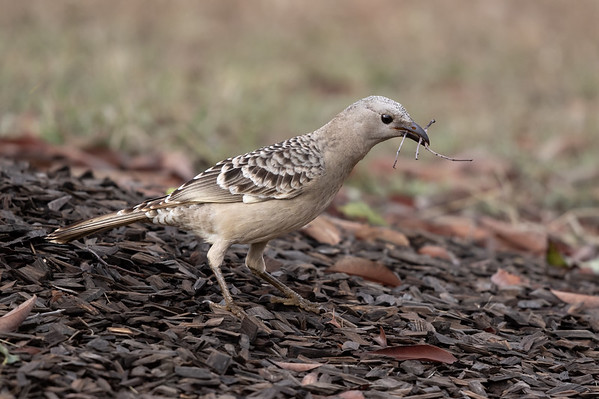 Great Bowerbird (Chlamydera nuchalis) - Birds on Barron (Mareeba), Queensland