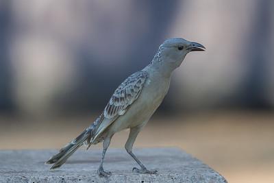 Great Bowerbird (Chlamydera nuchalis) - Gunlom (Kakadu), Northern Territory